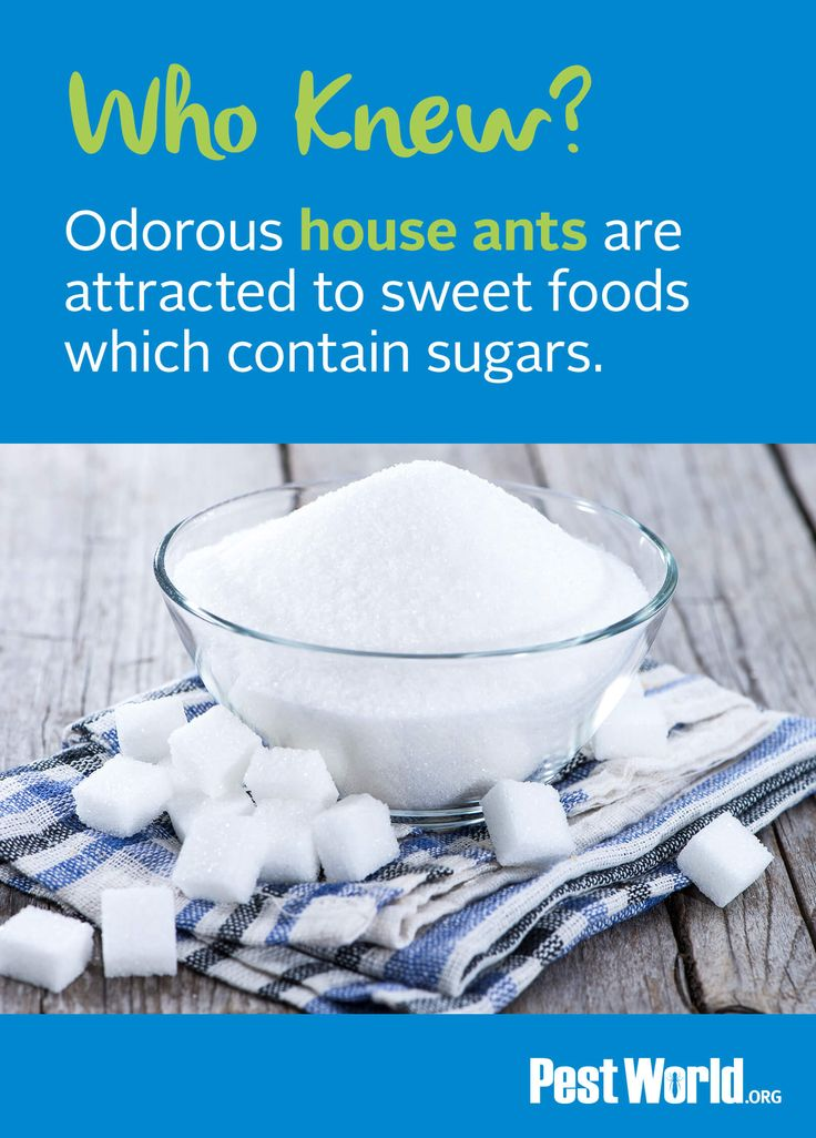 Odorous house ants are attracted to sweet food which contain sugars. Check out how to ID these pests and learn about their habits.