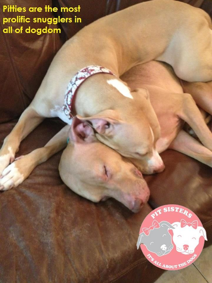 Nobody can snuggle like a pittie!