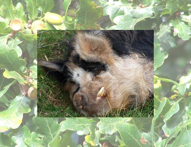 Calendar pix - November 2012 Here's the farm's kune-kune boar, christened Kevin by the workers, fast asleep in the Autumn sun.  He refused to wake up and pose properly for his portrait; probably because I didn't go equipped with apples!  His background is the wonderful oak tree in the centre of the farm.