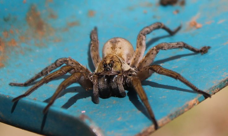 Pin Wolf Spider Bites Pictures on Pinterest