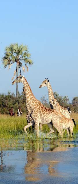 riding with giraffes in the okavango