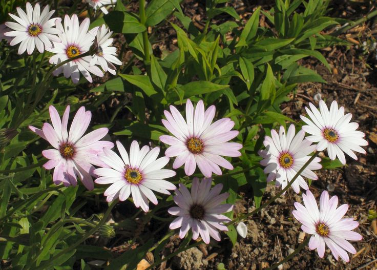 The African Daisy, a beautiful example of the Osteospermum family at Bryngwyn Gardens