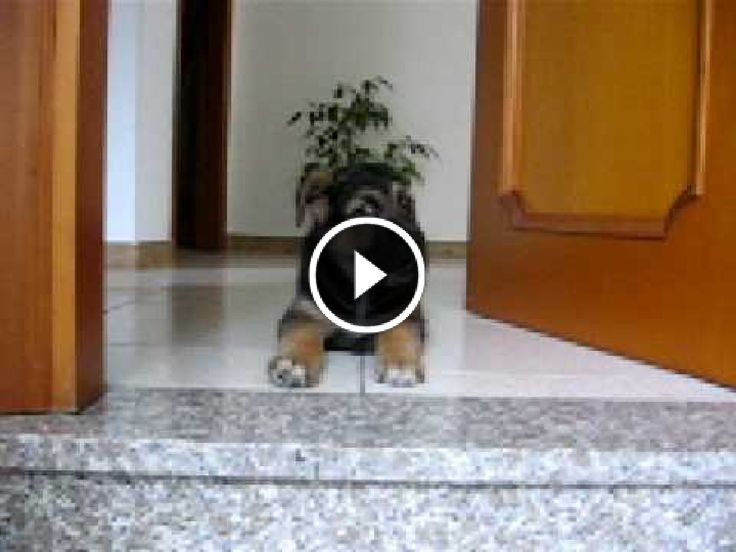 Video e immagini divertenti ogni giorno: Buffo cucciolotto di pastore tedesco impara a scen...