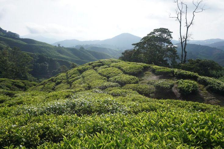 Het prachtige uitzicht, de ochtendzon schijnt over de theevelden - Cameron HIghlands, Maleisië