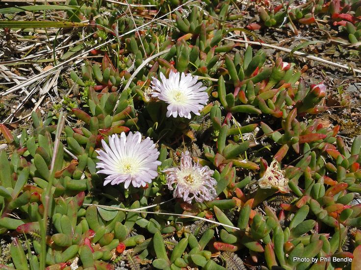 Horokaka, Native ice plant, New Zealand ice plant It grows on Three Kings, North, South, Stewart and Chatham Islands. It is a coastal plant and is rarely found inland. Its usual habitat is coastal cliff faces and rocks, salt meadows, estuaries and sometime behind sandy beaches. It also grows in petrel scrub on offshore. Produces white to deep pink >6cm flowers, all year From Terrain.net.nz