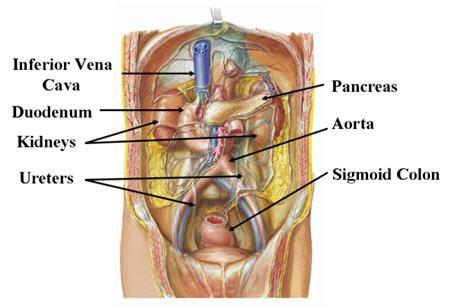 organ anatomy | figure 5. organ location with stomach, liver, Sphenoid