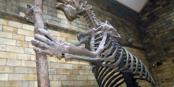 Preguiça-gigante:Você deve conhecer o pequeno e dócil bicho-preguiça. A preguiça-gigante, no entanto, é bem diferente em peso e tamanho. Esses enormes animais, de até 4 m de altura, extinguiram-se há 10 mil anos. Uma preguiça-gigante podia pesar até 4 toneladas.  Universal Images Group / Getty Images