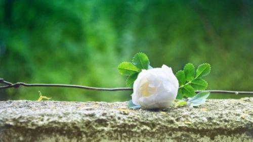 White Rose pe beton - a crescut, alb, pe, beton, fotografie, flori, frumusețe