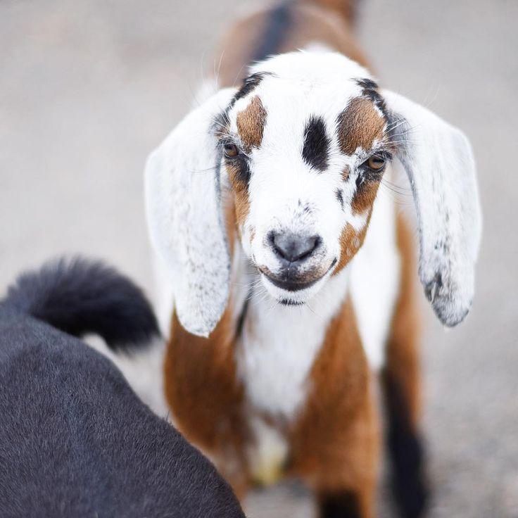 778 Best Goat Farm Images On Pinterest: 17 Best Ideas About Pygmy Goat House On Pinterest