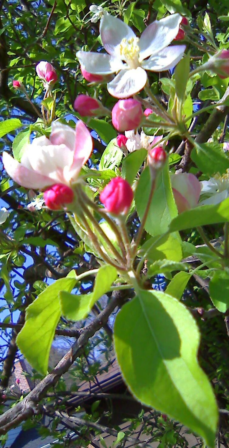 Apple Blossoms from Golden and Red Delicious Apples, Stark Bros. Nursery Orchards via @Gardenia Hung-Wittler