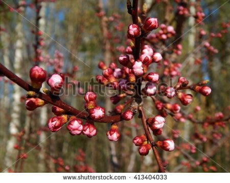 apricot flowering period