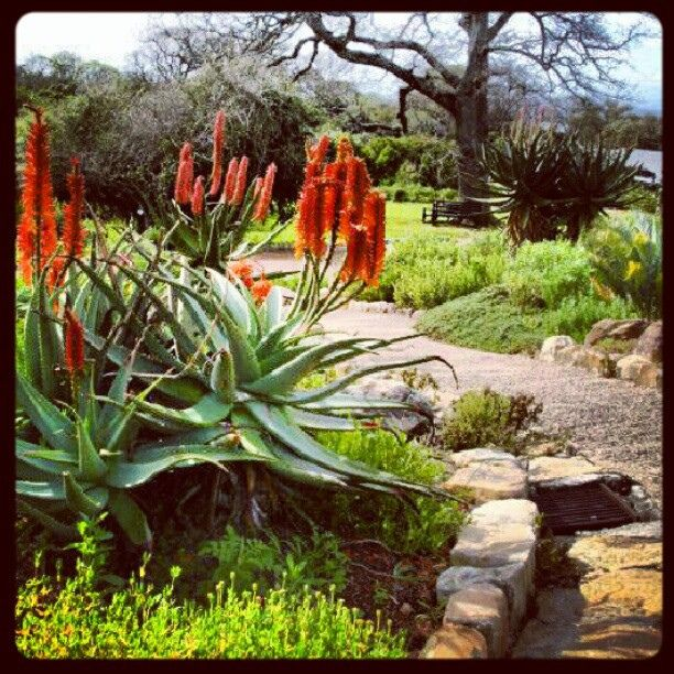 26 best images about indigenous flowers and garden ideas for Garden ideas south africa