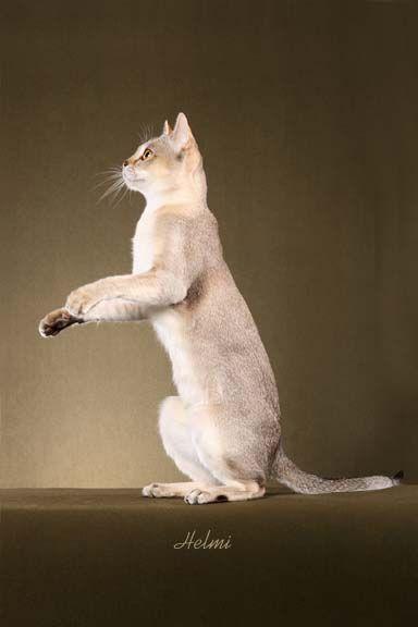Singapura cat - pictures of cats - #cat - Different Tiny Cat Breeds at Catsincare.com!