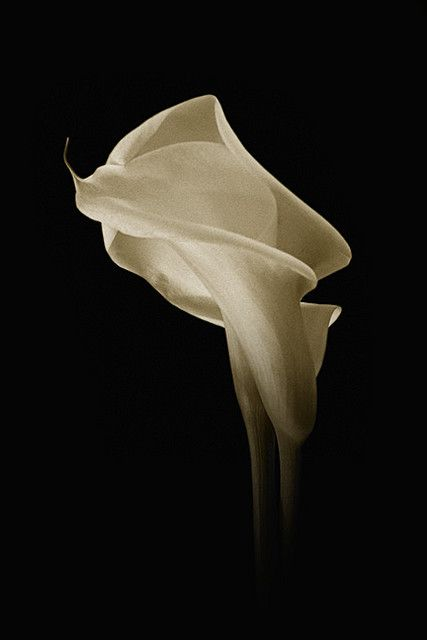 "To the Romans, the calla lily was symbolic of lust and sexuality, whereas the flower resonated with the Greeks to mean ""magnificent beauty"""