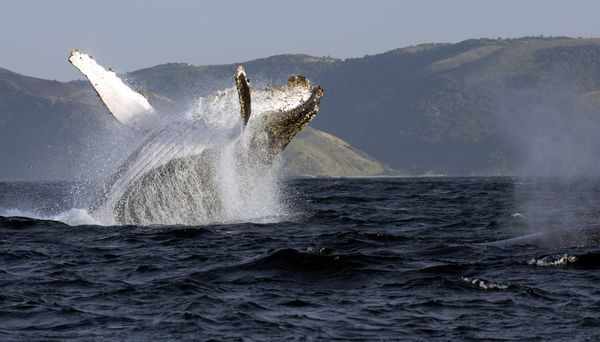 Spectacular shot of a whale breaching, off of Knysna.