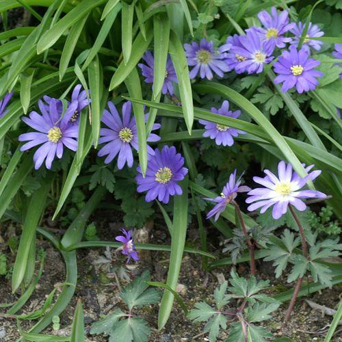 ANEMONE blanda 'Blue Shades'  (Anémone - Anémone de Grèce) : Originaires d'Europe Méridionale et d'Asie Mineure. Elles apprécient les emplacements mi-ombragés ou ensoleillés et un sol riche en humus et léger. La plantation de ces bulbes  floraison de mars à avril peut avoir lieu tout au long de l'automne. Plante vivace étalée formant de petites touffes qui s'agrandissent chaque saison. Ses feuilles de 3 à 10cm sont trifoliolées et d'un vert foncé, des fleurs bleu de 2 à 4cm de diamètre…