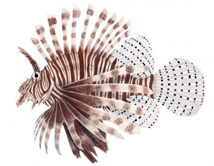 35 Best Images About Lionfish On Pinterest Photo