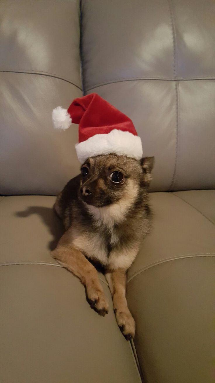 Pomeranian Chihuahua in the Christmas spirit!    #pomeranian #chihuahua #pomchi #christmasspirit @mishka_the_pomchi