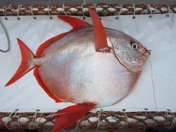moonfish, warm-blooded fish information.