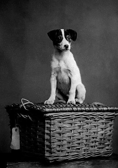 "Jack Russell, an English clergyman, developed the Jack Russell Terrier in the mid-1800s to hunt foxes & small game. At this time, the dogs were called ""fox terriers,"" prized for their endurance on long hunts & ability to dig animals out of their dens. The term ""Jack Russell Terrier"" was coined after Rev. Russell's death in order to distinguish the small working dogs from the existing ""fox terriers,"" which were larger. Even today, Jack Russell Terriers constitute a wide range of different…"