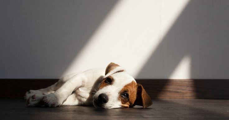 Comment aider son chien à faire le deuil de l'un de ses maîtres ?   chien endeuillé  La vie n'est pas toujours faite de plaisir et de bonheur et quand un être cher vient à nous quitter, il peut être difficile de faire son deuil. Pour nos chiens, ces étapes de la vie peuvent aussi être difficiles à surmonter.