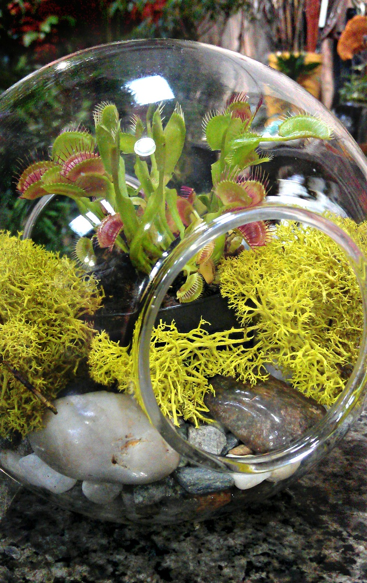 Venus Fly Trap Terrarium  I really want one when we move, but with a top so I can feed them if necessary. Only flies though, no moths or crickets! Beautiful little monsters ♡