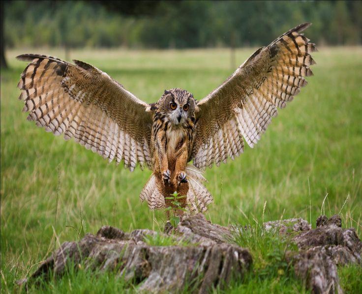 Eagle Owl Facts | Eagle Owl Diet, Habitat, and Behavior - Animals Time
