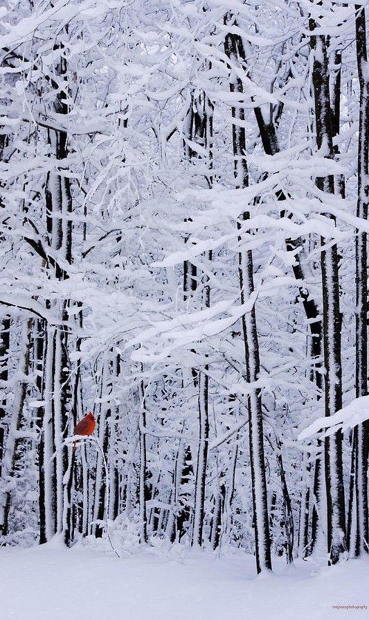 Cardinal red on winter landscape