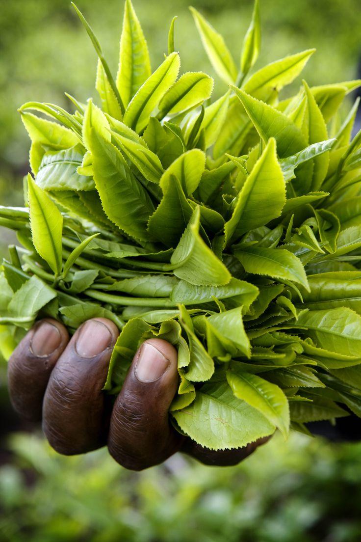 Fresh tea leaves in human hand.