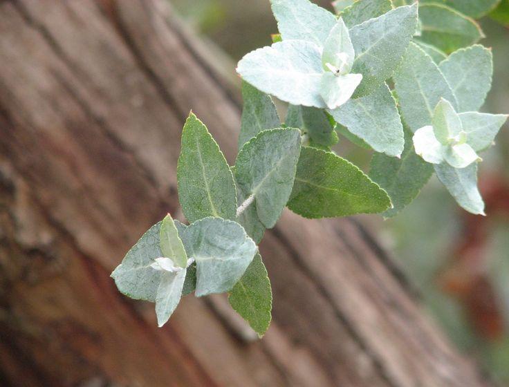 Eucalyptus_crenulata.jpg 1,312×1,000 pixels