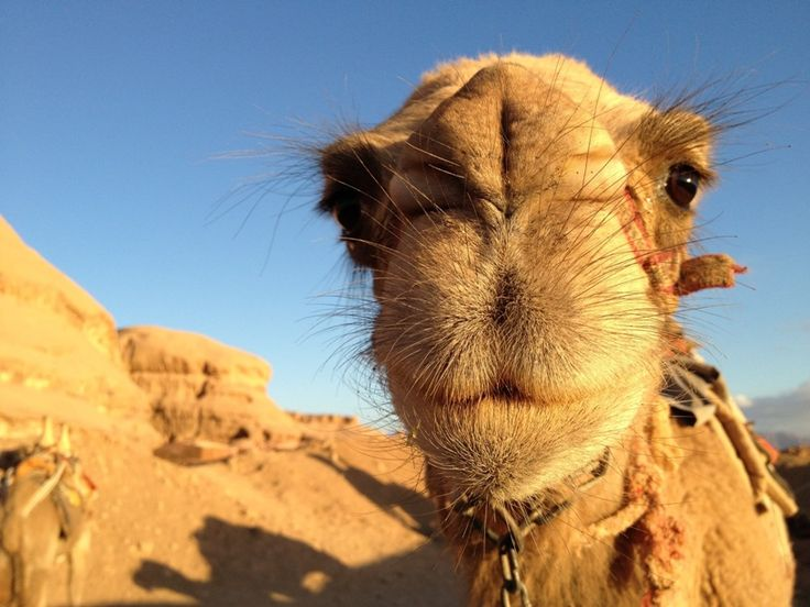 Adorable camel