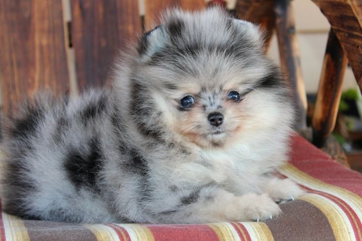 Blue Merle Pom Puppy