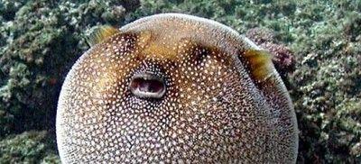 Numero 11-  il simpatico pesce palla. Sembra innocuo ed è anche una prelibatezza della cucina nipponica. In realtà la sua carne contiene tetradotossina, una neurotossina che colpisce il sistema respiratorio provocando una morte quasi istantanea. La preparazione richiede una maestria padroneggiata da pochi e mangiarlo, per i giapponesi, è un grandissimo atto di coraggio