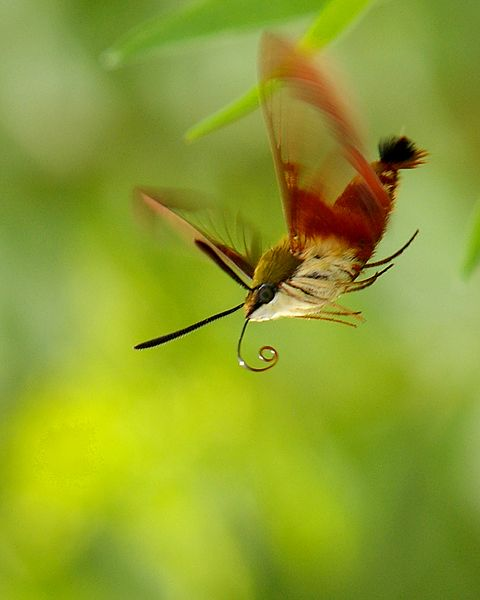 Hummingbird Moth, uncredited