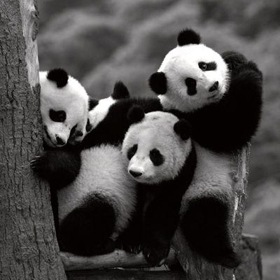 Pandas: Animals, Pandabears, Baby, Panda Babies, Giant Pandas, Pandamonium, Panda Bears