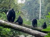 5 Days Bwindi and Kibale Safari / Gorilla and Chimpanzee