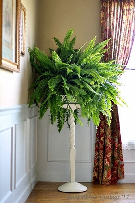 Boston Fern on a pedestal fills a room with space and color.