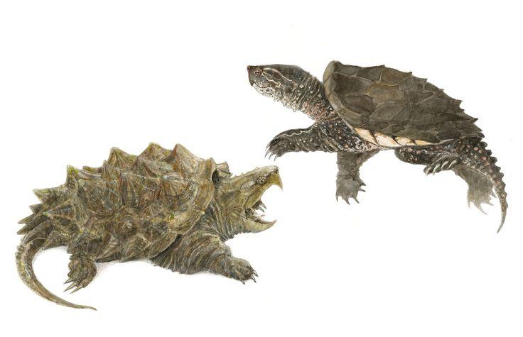 Tortuga aligator y tortuga mordedora