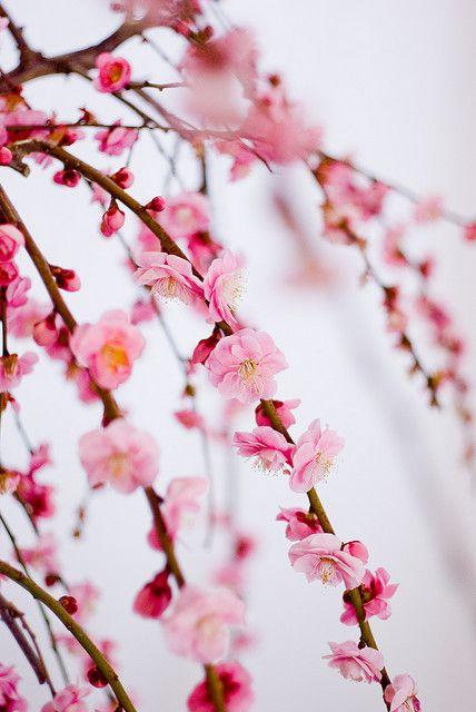 Cherry blossom #cherryblossom #pink #beautiful