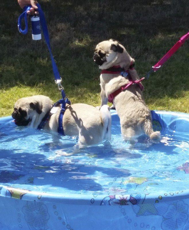 Pug Rescue Profile Pug Rescue Pugs Pug Love