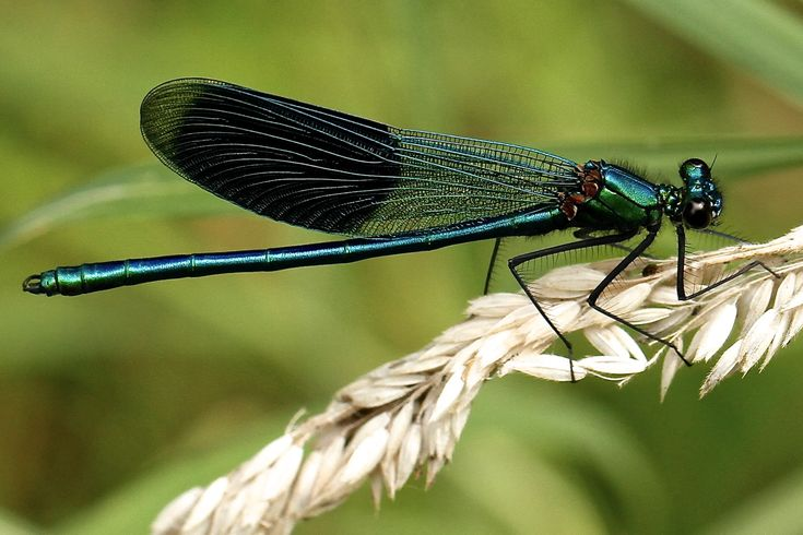 Hot pics black winged dragonfly and afraid
