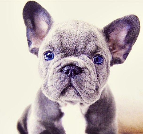 Frenchie, bull dog francés, French Bulldog Puppy