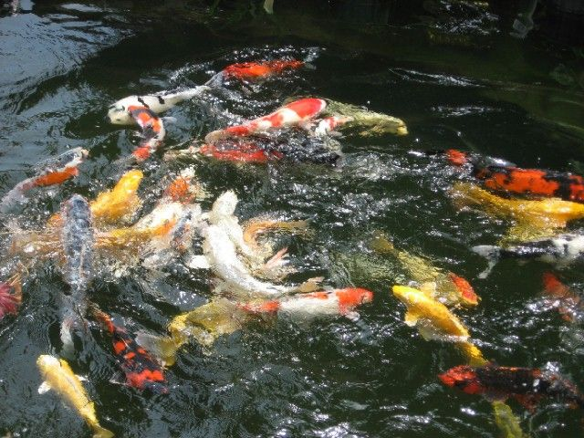 38 best diy pond images on pinterest natural swimming for Koi goldfish care