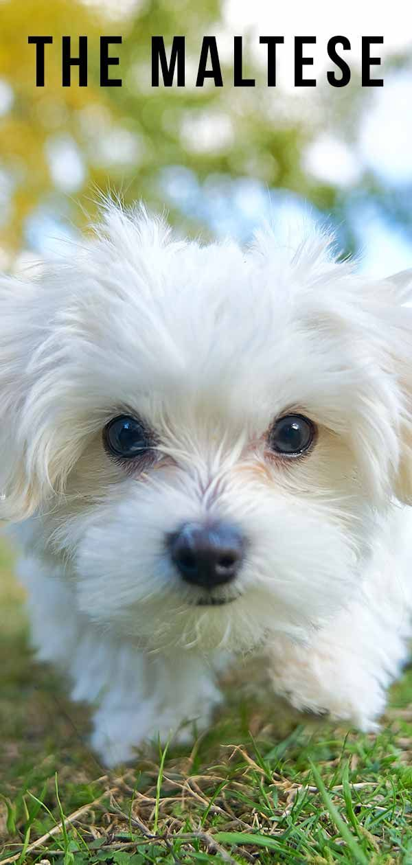 Maltese Dog Breed Information Center The Ultimate Fluffy White
