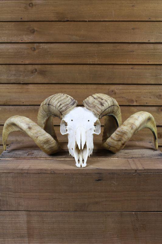 Image of British Ram Skull (Ovis aries) #1