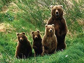 Sevimli ayılar Video