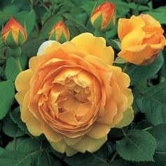 Golden Celebration is a compact shrub rose to 1.2m, with glossy, dark foliage and large, cup-shaped, fragrant, double, rich yellow flowers in summer and autumn.