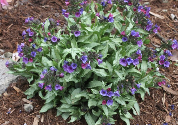 Pulmonaria 'Diana Clare' - probably the best pulmonaria. Flowers in spring, but what really sets it apart is the foliage that stays fresh-looking and striking for 9 months of the year.