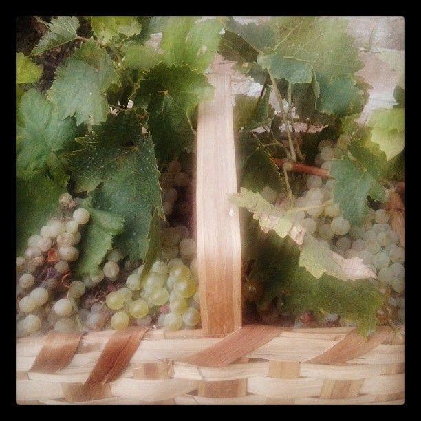 Stasera abbiamo raccolto la nostra #uva #bianchellodelmetauro e domani si va di #maritozzimarchigiani al #mosto ;-)