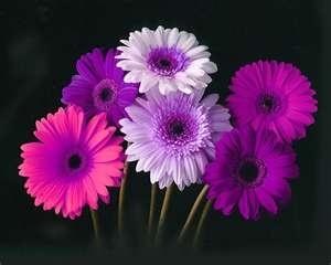 More Gerber Daisys
